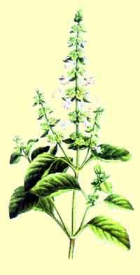 albahaca1